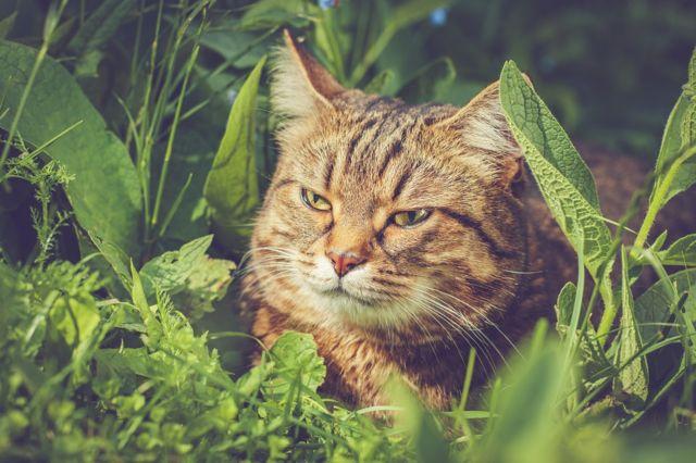 mačka u travi