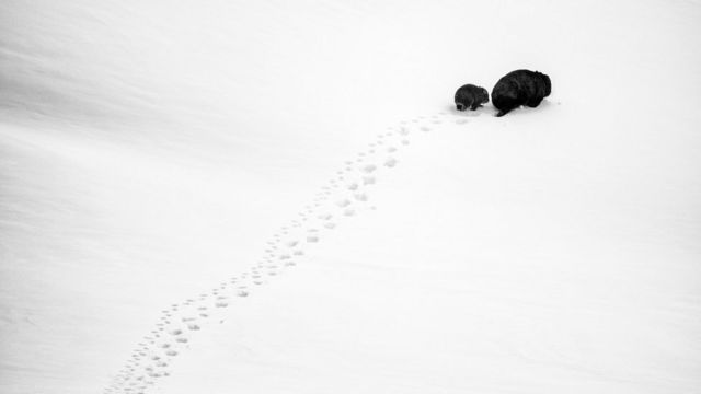 A mum and baby wombat trek through the snow leaving tracks behind them in Kosciuszko National Park, New South Wales