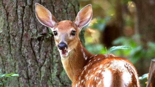 A whitetail deer in Massachusetts