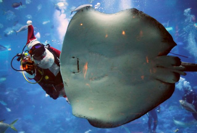 Sinqapurda Milad bayramı ərəfəsində təşkil olunan əyləncəli tədbirlər çərçivəsində Zhao Jian Wen adlı dalğıc Santa Claus geyimində dəniz suyunun dərinliyində skatlar növünə aid balinaya yem verir.