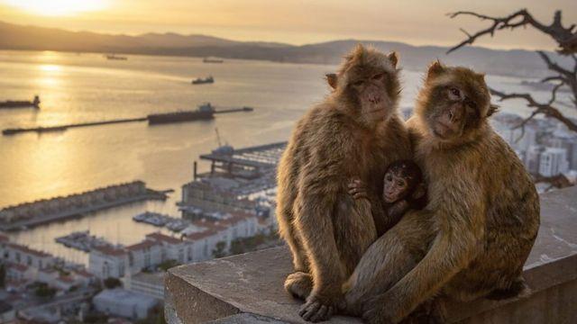 巴巴里猕猴