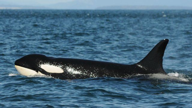 Granny, the oldest known killer whale (c) Center for Whale Research