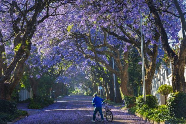 A man wheels his bike among the fallen petals of jacaranda trees.