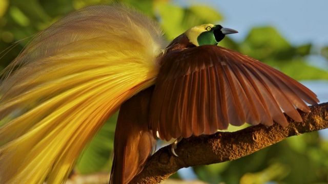 Ухаживая за самками, самцы райской птицы исполняют сложные танцевальные па