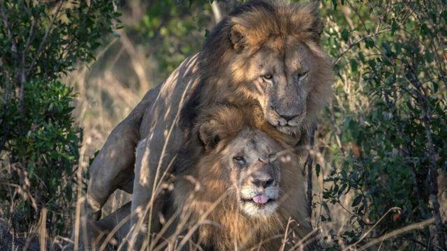Simba wapenzi wa jinsia moja wapigwa picha katika mbunga ya wanyama pori ya Masai Mara Kenya