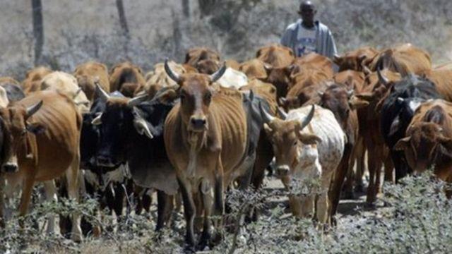 Mifugo ya jamii ya Maasai nchini Kenya