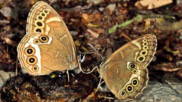 Красавицы бабочки питаются экскрементами, и их это не смущает