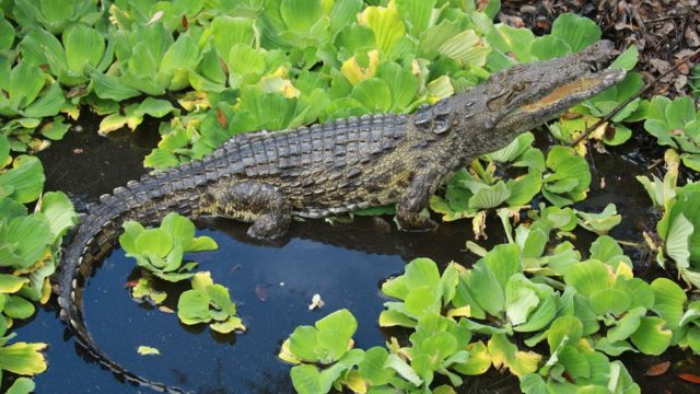 Florida crocodiles: Man-eating Nile beasts confirmed in swamps