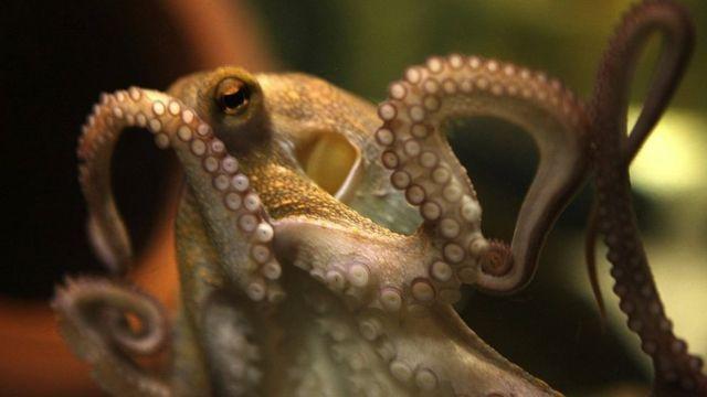 Octopus Paul II, sucesor del tipster con tentáculos que cautivó al mundo con su asombrosa habilidad para predecir correctamente los partidos de fútbol de la Copa del Mundo.