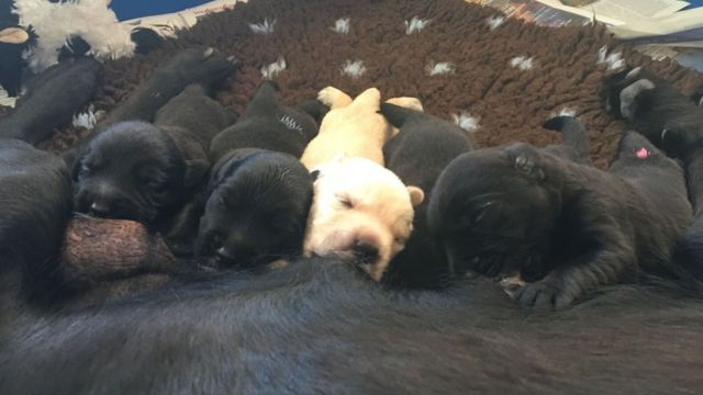 Several puppies feed from their mother, Abby
