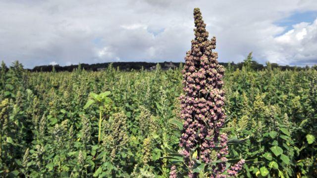 Planta de quinua en el campo.