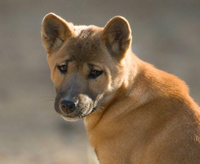 El perro cantor de Nueva Guinea