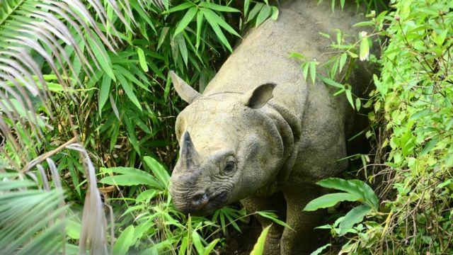 Endangered Javan rhino at risk from tsunami