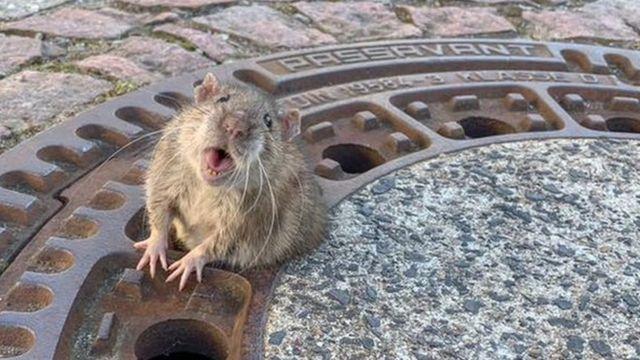 Rata presa em bueiro na Alemanha
