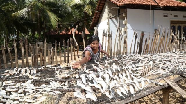Sri Lankan woman drying fish (Image: Seacology)
