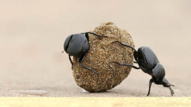 Навозные жуки катают свои шарики. А по ночам они делают это, ориентируясь по звездам
