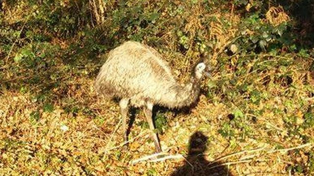 The mystery emu was spotted on the Taff Trail