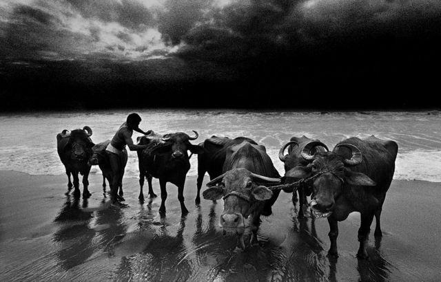 2000ஆவது ஆண்டு சென்னை மெரினா கடற்கரையில் எருமை மாடுகளை ஒருவர் குளிப்பாட்டும் காட்சி.