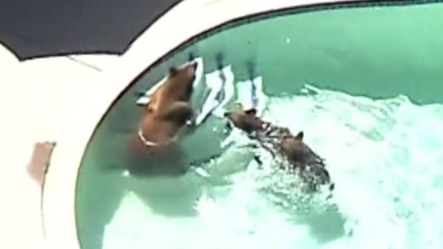 Black bears in swimming pool, Pasadena