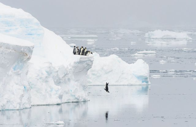 Penguins stand on the edge of an iceberg and one jumps in