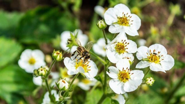Abeja en una flor de un almendro