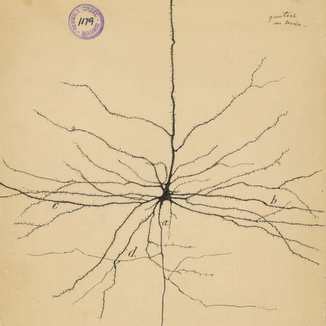 Neurona piramidal del córtex cerebral