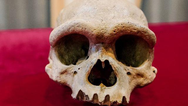 Dragon Man Skull