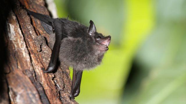 صغار الخفاش تتمرن على النطق
