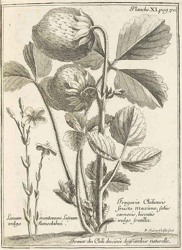 La ilustración que aparece en el libro de Frézier des las fresas de Chile del tamaño de nueces o hasta huevos.