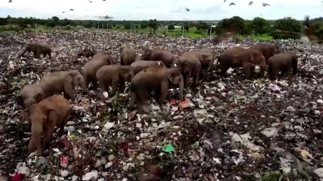 Elefantes em um lixão no Sri Lanka