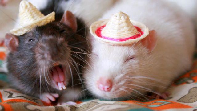 Зубы у крыс постоянно растут, и чтобы не дать им вырасти чрезмерно, крысам надо что-то грызть - например, вашу мебель