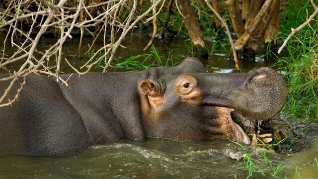 Un hipopótamo
