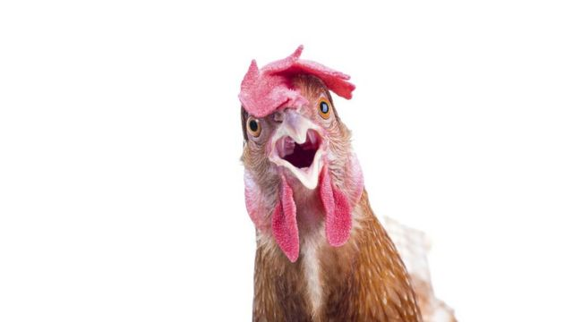 Close up of a surprised looking chicken