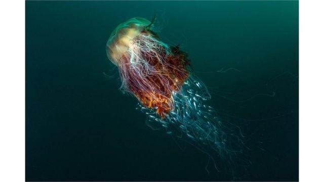 Medusa melena de león, St Kilda, isla de Hirta, Escocia.