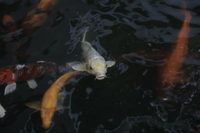 ปลาคาร์พ