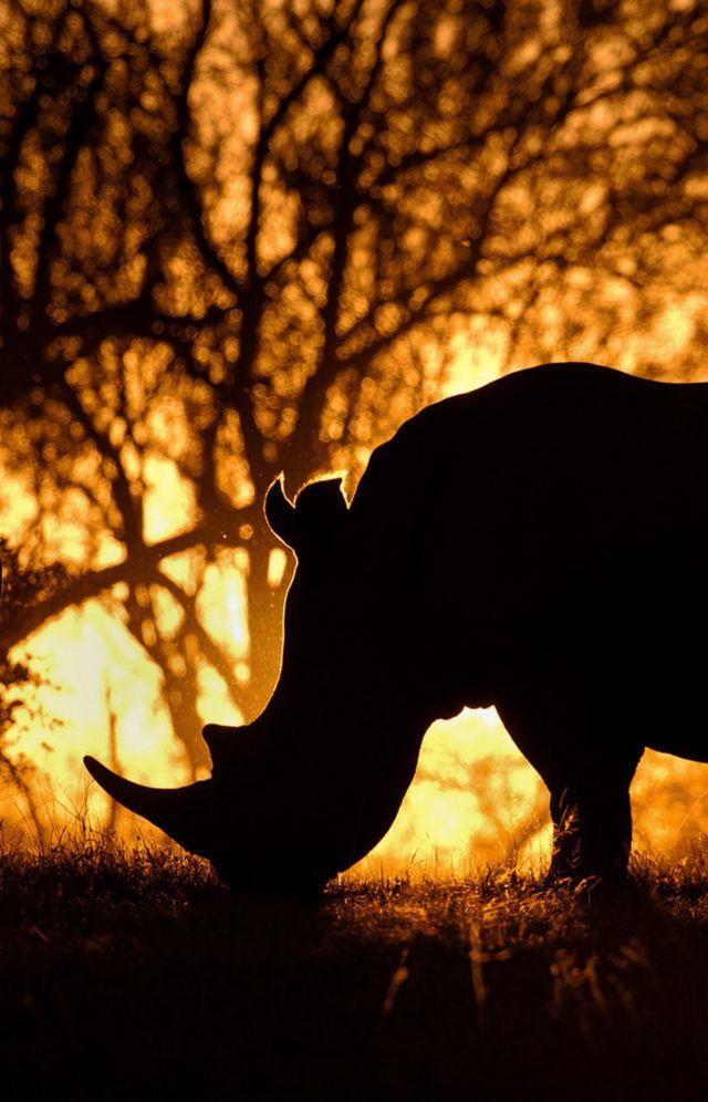Silhouette photo of a rhino