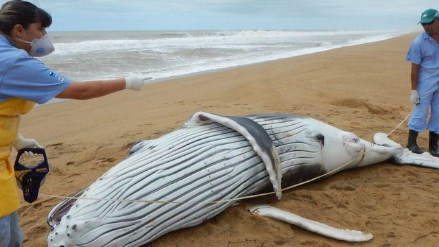 Filhote de baleia encalhado