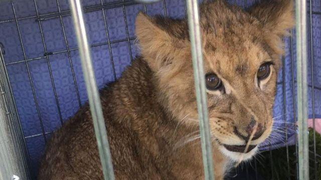 Fihote de leão em jaula encontrado na Holanda