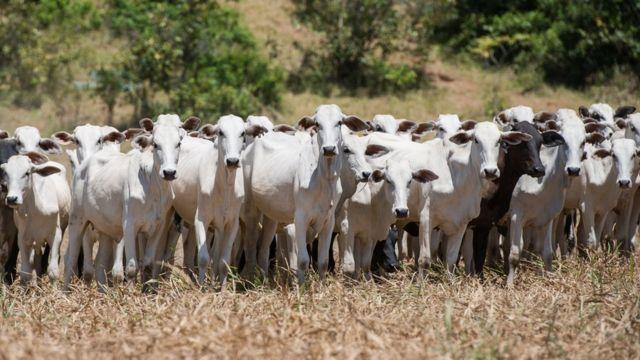 Gado bovino em pasto seco