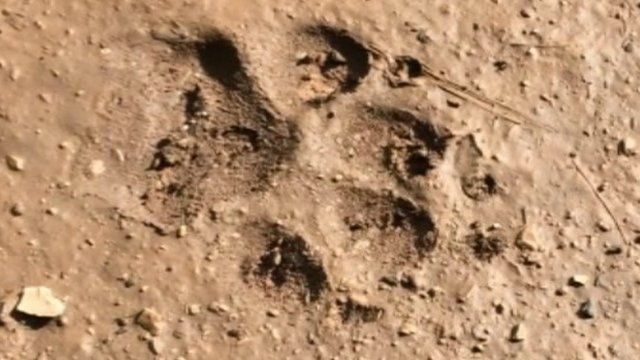 Wolf print in mud