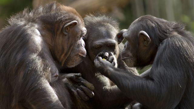 Tres chimpancés comunicándose