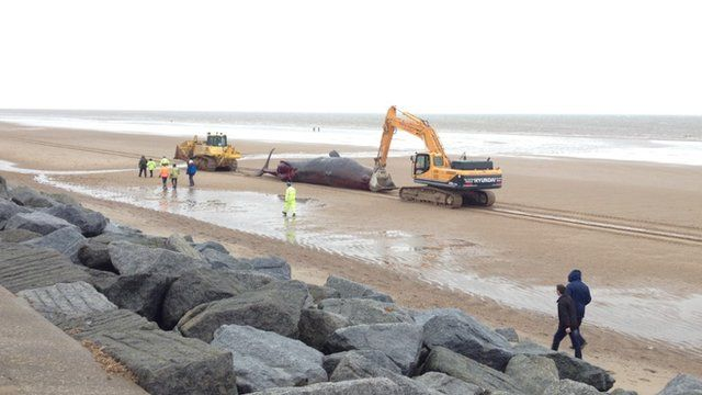 Dead whale being moved
