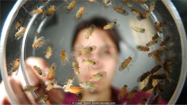 Moscas em placa de Petri