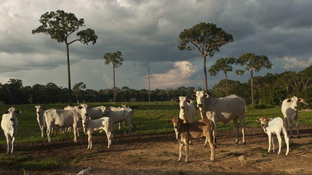 Gado na Amazônia