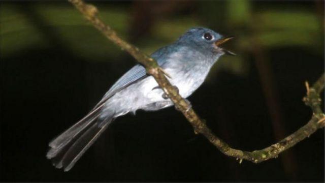 Seriwang sangihe, atau yang disebut masyarakat lokal sebagai manu' niu, adalah burung yang hanya ada di Pulau Sangihe.