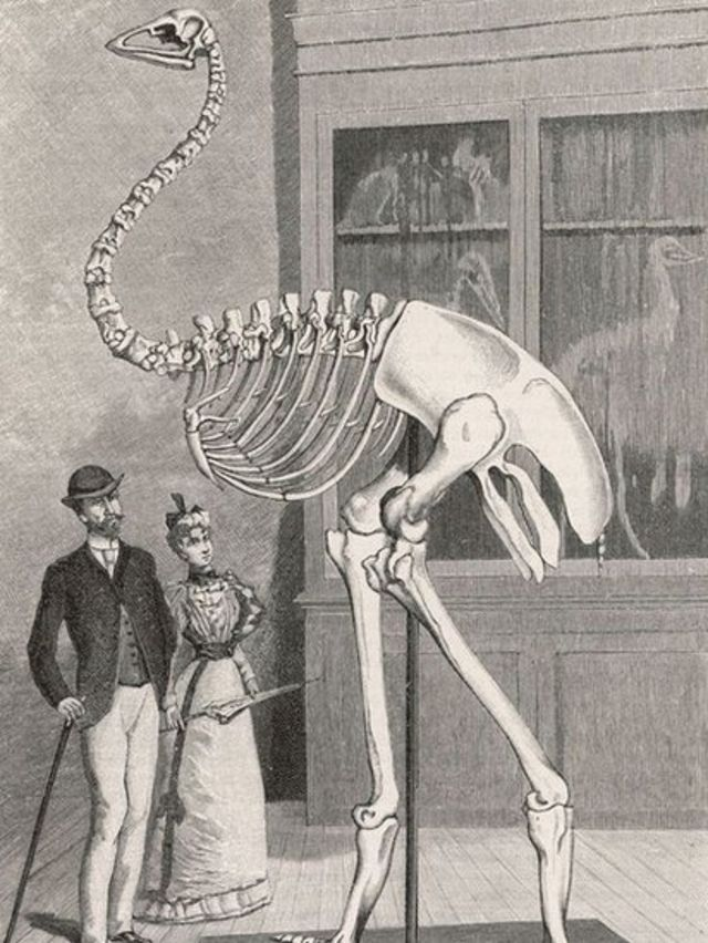 Ilustração do esqueleto do pássaro-elefante