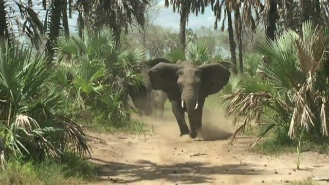 Elephant charges vehicle carrying Jeff Flake
