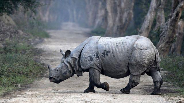 Indijski veliki nosorog, Nacionalni park Kaziranga, Indija, mart 2018.godine