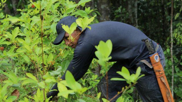 Hombre arranca una planta de coca (Foto: Natalio Cosoy/ BBC Mundo)