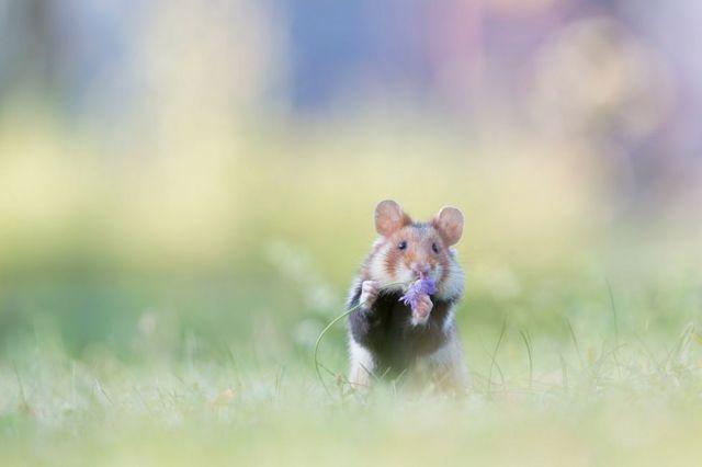 فأر بري